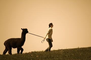 Auf Entdeckungsreise mit Alpakas